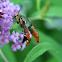 Squash Vine Borer Moth