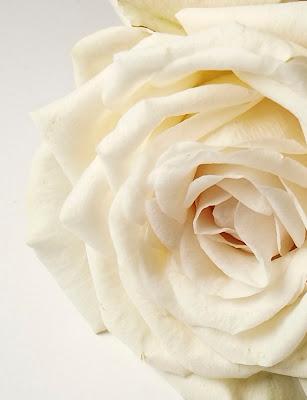 rosa bianca di elisabetta_de_carli