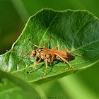 Spider Wasp / माकुरी-बारूला कीराको प्रजाती