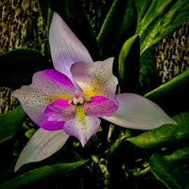 Chantilly Lace Orchid by Joseph Vittek - Flowers Single Flower
