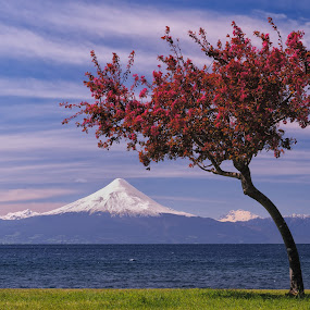 Frutillar by Charles Brooks - Travel Locations Landmarks ( chile, mountain, osorno, red, tree, leaves, spring )
