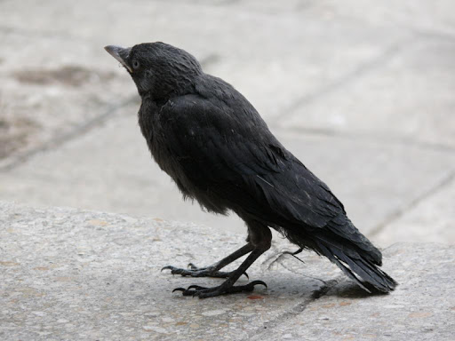 Crows Wallpaper Images
