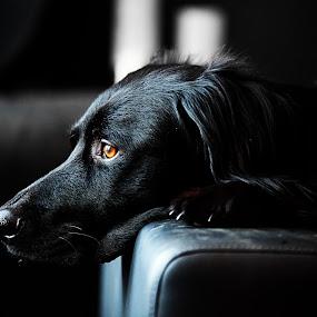 Pelle by Jens Klappenecker-Dircks - Animals - Dogs Portraits