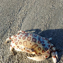 Calico Crab  (Hepatus epheliticus)