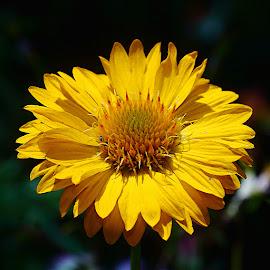Yellow by Gérard CHATENET - Flowers Single Flower