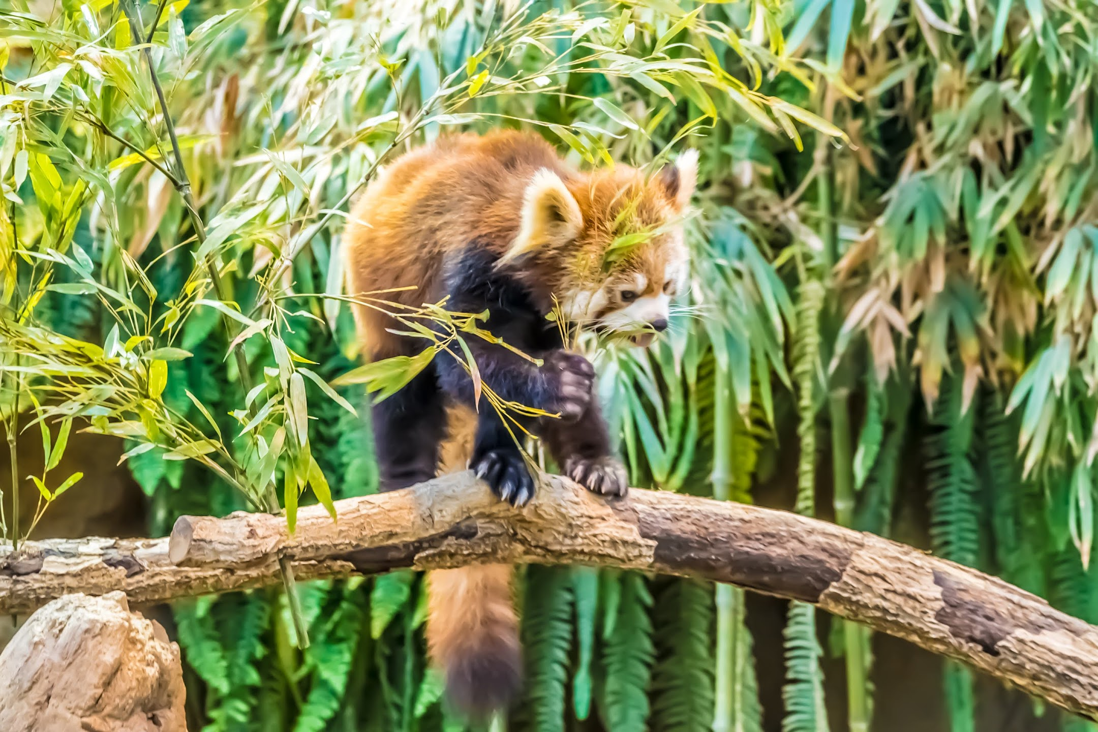 Kobe Animal Kingdom red panda1