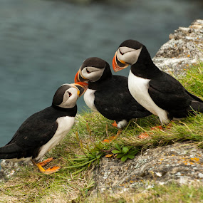 3 Friends by K Kingsbury - Animals Birds ( newfoundland, rocky, atlantic, elliston, puffin )