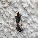 Pavlovski's Monopis Moth