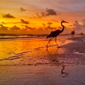 { Heron Strutting Along Beach ~ 28 July }  by Jeffrey Lee - Landscapes Sunsets & Sunrises ( { heron strutting along beach ~ 28 july },  )