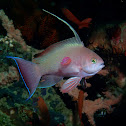 Threadfin Anthias
