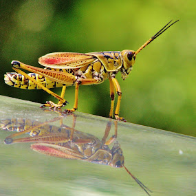 Grasshopper with reflection by Priscilla Renda McDaniel - Animals Insects & Spiders ( reflection, grasshopper, reflections, mirror,  )