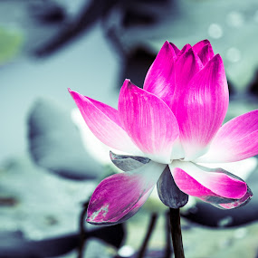 the pink lotus. by Nguyen Huu Hung - Nature Up Close Flowers - 2011-2013