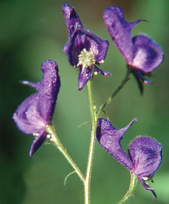 Monkshood flowers.