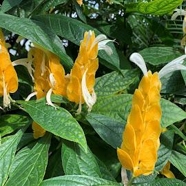 Shrimp plant by Carol Leynard - Instagram & Mobile iPhone ( shrimp plant, evergreen shrub, yellow cultivar shrimp bush, shrub )