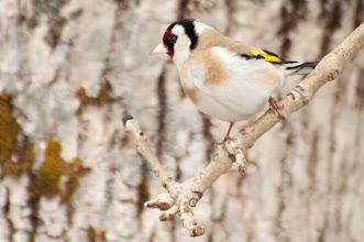 Photo: European Goldfinch (Stieglitz); Inchnadamph, SCOT