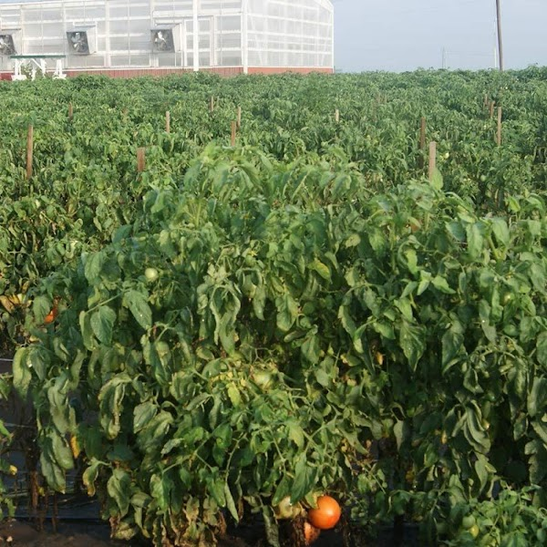 The answer is simple: It's a given that a homegrown tomato will be more...