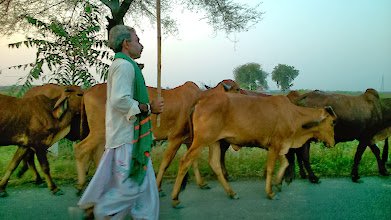 Photo: Long way to home in an evening along with cows near Akola, Maharashtra. 100 years ago, his grand grand father may have walked this road similarly, every day for many years. 8th November updated -http://jp.asksiddhi.in/daily_detail.php?id=356