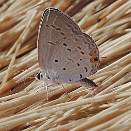 by Howard Mattix - Animals Insects & Spiders ( common species, butterfly, eastern tail blue, very small, insects )