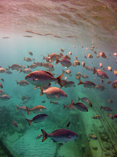 Photo: Bermuda Chub and Sargeant Majors over the wreck. Tour boats throw bread in the water to attract them for snorkellers.