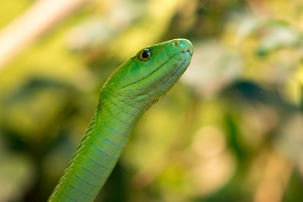 WATCH | Green mamba takes rescuers to new heights on KZN south coast - TimesLIVE