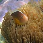 Pez payaso (Skunk clownfish)