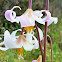 Oregon fawn-lily