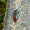 Acmaeodera beetle