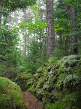Photo: The short portage to Pot Lake goes through a patch of old growth Acadian forest. The big trees are Red Spruce.