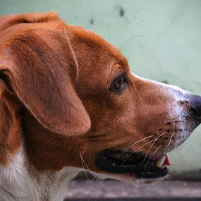 Noble Baldemar by Ritter Dante - Animals - Dogs Portraits ( mixed breed, teckel, beagle, dog,  )