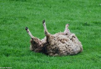 Photo: sheep Stubbins Lane 21.05.13