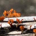Slime Mold / Fungi???