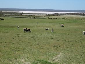 Photo: Sheep at Salina Grande
