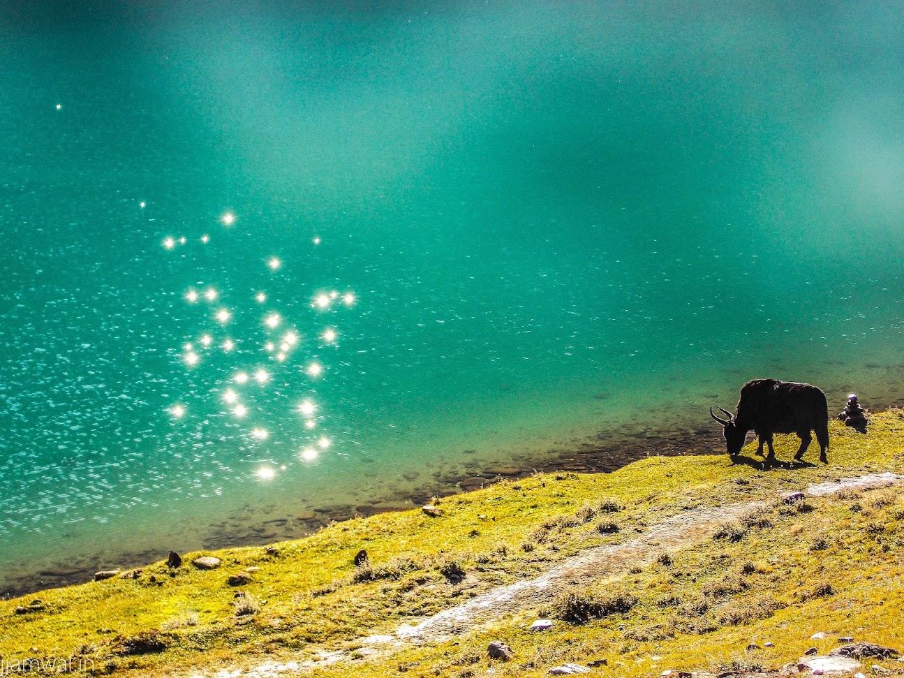A yak grazing near chandrataal lake