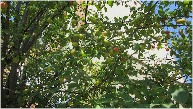 Photo: Corcoduși (Prunus cerasifera) - de pe Calea Victoriei, Mr.2 - 2017.07.08
