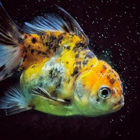 SILENT PARTNER 1 by Frans Priyo - Animals Fish ( water, fish, aquarium, goldfish )