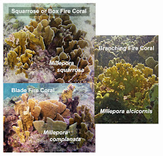 Photo: The three species of Fire Coral in the Caribbean. All are found on the Barbados reef, but the Squarrose Coral is much more abundant than the other two species.