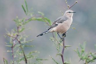 Photo: White-banded Mockingbird (Weißbinden-Spottdrossel); Valle Calchaquí, ARG