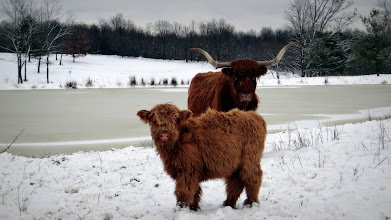 Photo: Honey and calf Honeybee (just over 6 months old) in the snow...