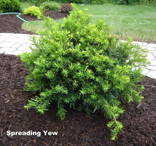 Spreading Yew Evergreen Shrubs