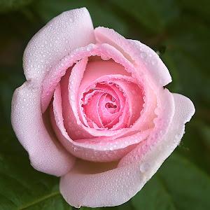 0 Rose 9805~ 2.jpg