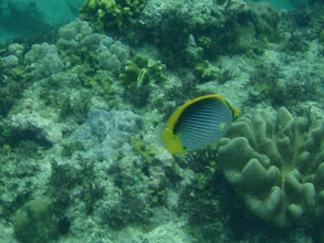 Photo: Chaetodon melannotus (Black Back Butterflyfish), Siquijor Island, Philippines
