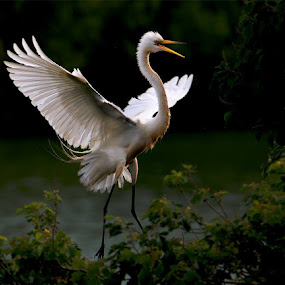 Great White Egret by William Wu - Uncategorized All Uncategorized