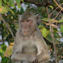 Crab-eating/Long-tailed Macaque