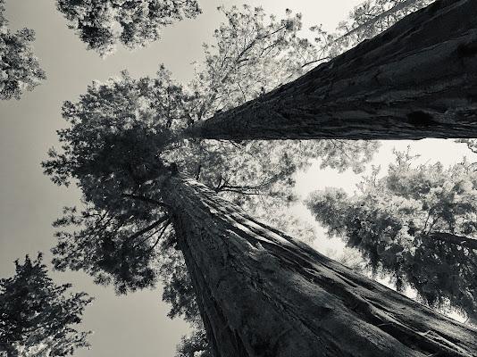 Cielo tra le sequoie  di GiuChi