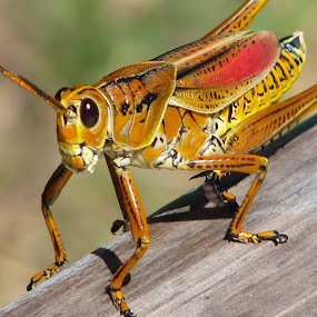 Flubber Grasshopper by Priscilla Renda McDaniel - Animals Insects & Spiders ( central florida, flubber, large, grasshopper,  )