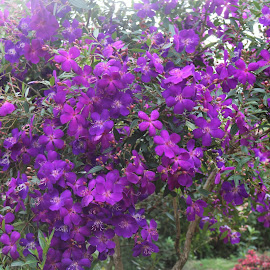 Violet Beauty by E K Lal India - Flowers Flowers in the Wild ( beauty, folwer, munnar, vilot, wild flower )