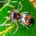 Colorful jumping spider, female