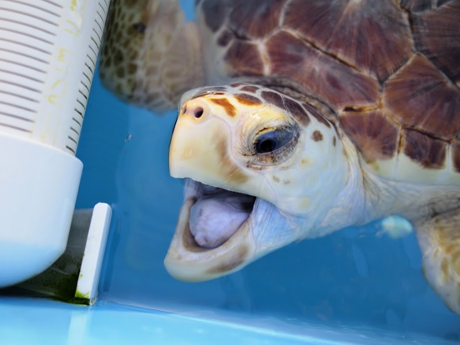 a sick turtle at the turtle hospital florida keys