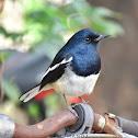 Oriental Magpie Robin (male)