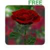 3D Rose Live Wallpaper Free APK Icon